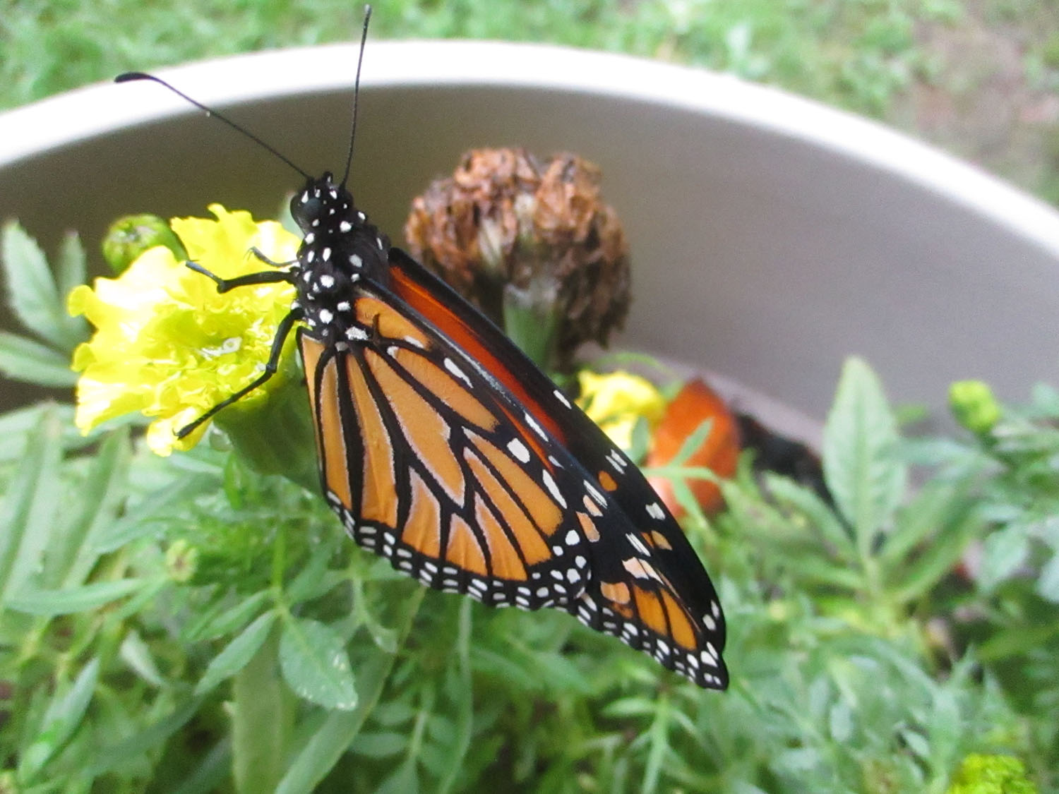 Our Monarch Butterfly Releasing