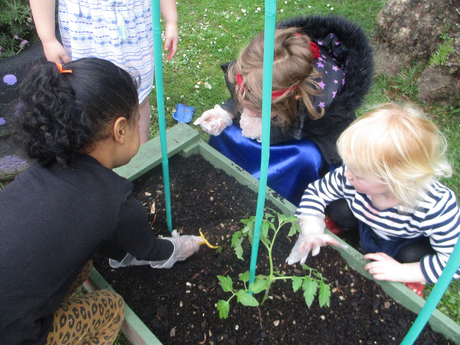 Planting our tomato plants
